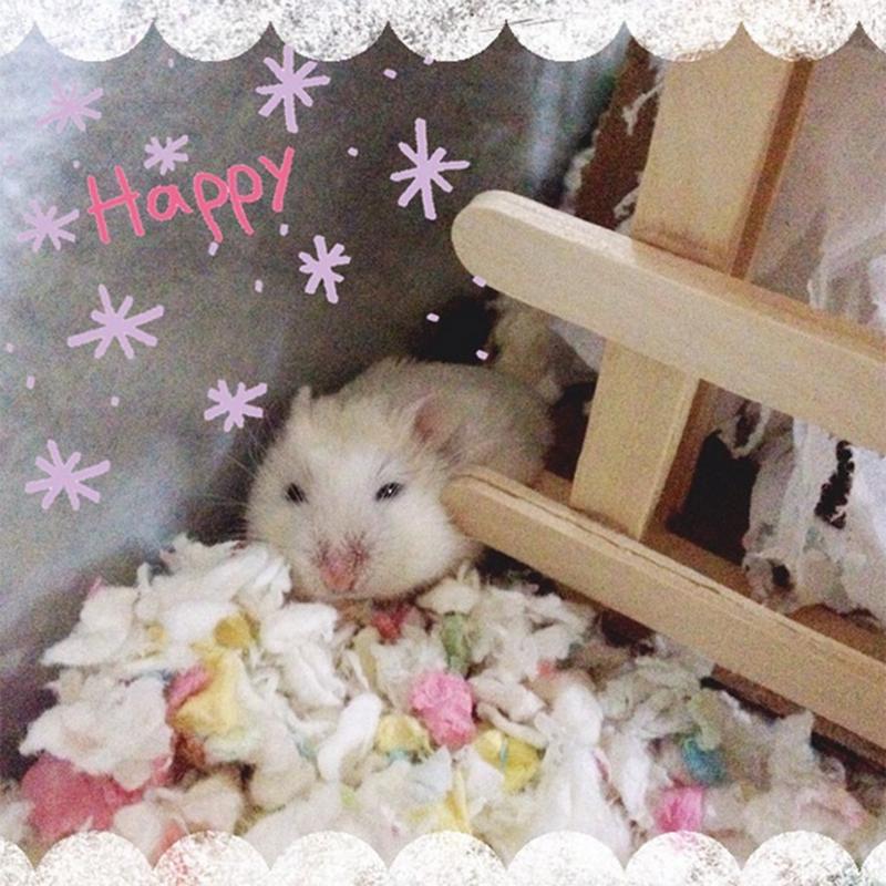 Q-Tip, the Roborovski Dwarf Hamster