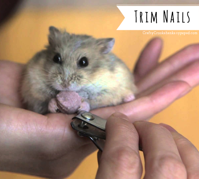 Crafty Crookshanks: Trimming Your Hamster's Nails